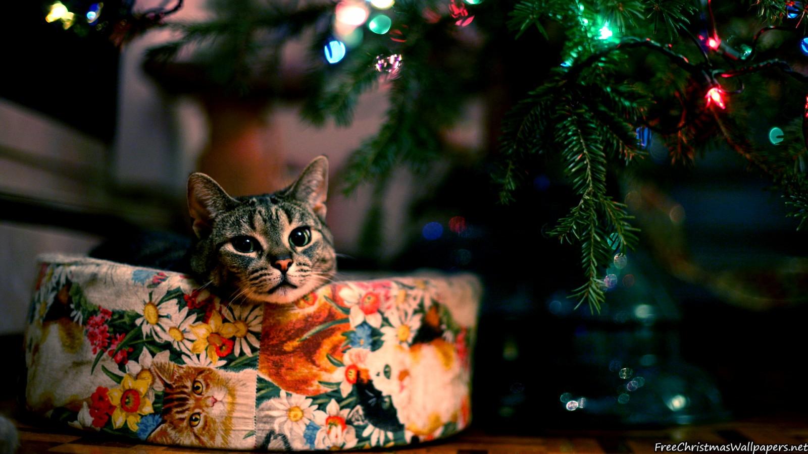Cute Christmas Cat 1600x900 - Wallpaper ...