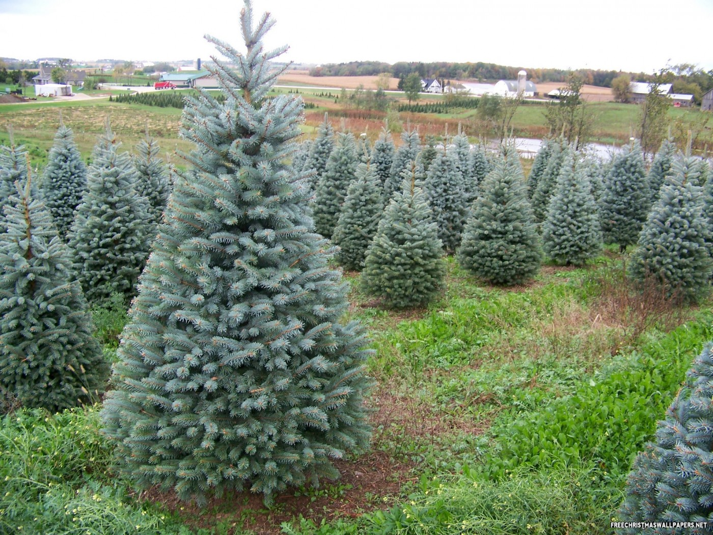 Colorado Blue Spruce Tree