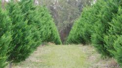 Arizona Cypress Xmas Tree