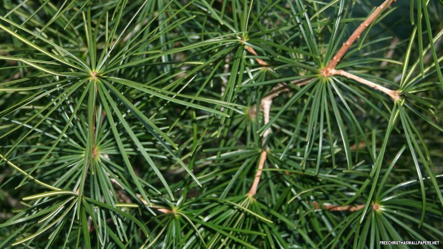 Scotch Pine Tree